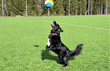 Норвежець Бернтсен навчив собаку грати у волейбол (ВІДЕО) волейбол, собака, яка грає у волейбол, матіас бернтсен, новержський волейболіст, відео, карантин, пандемія, епідемія, коронавірус, розваги